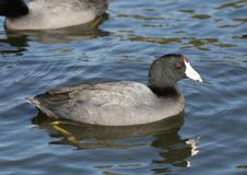 Free American Coot. Royalty Free Stock Images - 4518799