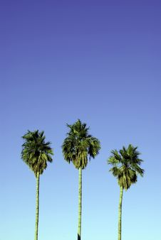 Free Three Palms Against Blue Sky Stock Photo - 4518810