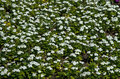 Free White Flowers Field Royalty Free Stock Image - 45158326