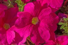 Free Pink Flowers Macro Royalty Free Stock Photos - 45158408