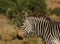 Free Cape Mountain Zebra (Equus Zebra) Stock Image - 4521011