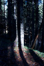 Free Tree In The Forest And Shadows Royalty Free Stock Photos - 4524688