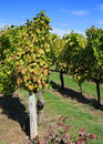 Free Vineyard Stock Image - 4526601
