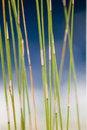 Free Reed Close Up Stock Image - 4527151