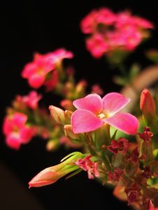 Free Red Flower And Bud Stock Photography - 4520532