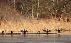 Free Cormorants Stock Image - 4520701