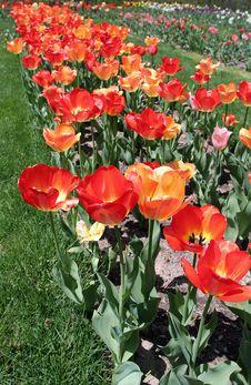 Free Red And Orange Tulips Stock Image - 4520891