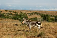 Cape Mountain Zebra (Equus Zebra) Royalty Free Stock Photo