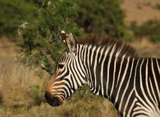Cape Mountain Zebra (Equus Zebra) Stock Image