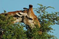 Free Giraffe (giraffa Camelopardalis) Royalty Free Stock Image - 4521156