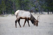Free Elk Stock Images - 4521504