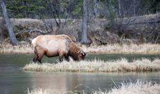 Free Elk Royalty Free Stock Photo - 4521525