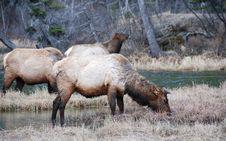 Free Elk Stock Photography - 4521532