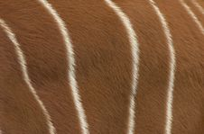 Bongo Antelope Detail Stock Photo