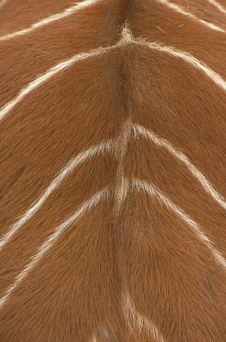 Back Of The Bongo Antelope Royalty Free Stock Images