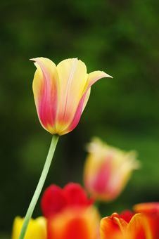 Free Tulip Red&yellow Royalty Free Stock Photos - 4523988