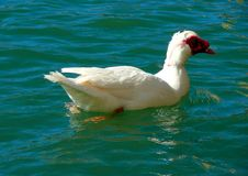 Free Muscovy Duck Stock Photography - 4524492