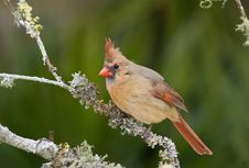 Free Female Northern Cardinal Royalty Free Stock Images - 4524749