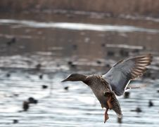 Free Landing Duck Royalty Free Stock Photography - 4525457