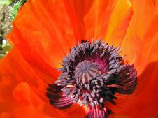 Free Beautiful Red Poppy. Royalty Free Stock Photos - 4526088