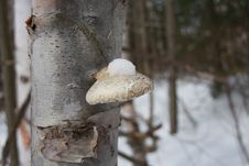 Snow Capped Fungus Stock Images