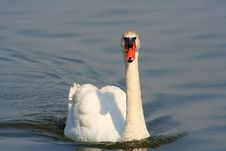 Free Mute Swan Stock Images - 4526584