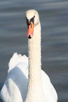 Free Mute Swan Royalty Free Stock Image - 4526606