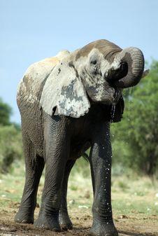 Elephant In Etosha Nationalpark, Namibia Stock Image