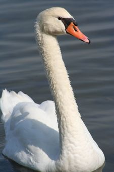 Free Mute Swan Royalty Free Stock Photography - 4526637