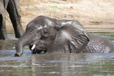 Free Young Elephant Playing In River Royalty Free Stock Image - 4527296