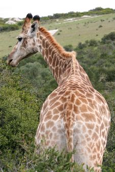 Male Giraffe Royalty Free Stock Images