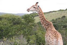 Male Giraffe Stock Photography