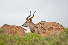 Free Kudu Family Royalty Free Stock Photos - 4527398