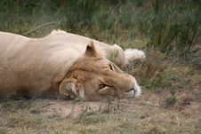 Free Lioness Resting Stock Photos - 4527483