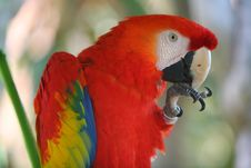 Free Parrot - Red Blue Macaw Stock Photography - 4527502
