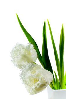 Free White Tulips Stock Images - 4527604