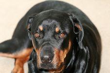 Free Rottweiler Stock Image - 4527681