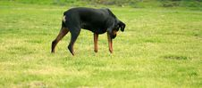 Free Rottweiler Royalty Free Stock Image - 4527706