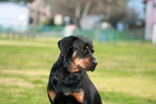 Free Rottweiler Royalty Free Stock Photo - 4527725