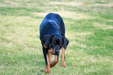 Free Rottweiler Stock Photos - 4528133