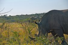 Free Two Rhinos Grazing In Brush Stock Images - 4529014