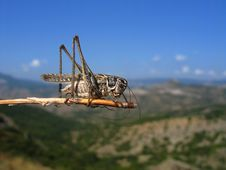 Free Grey Grasshopper Stock Photos - 4529713