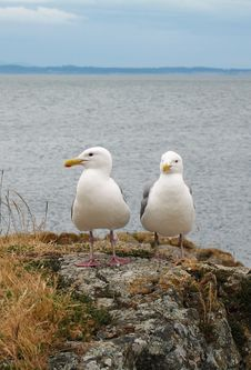 Free Seagulls Royalty Free Stock Images - 4529929