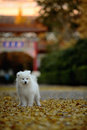 Free Samoyed Stock Photography - 4531982