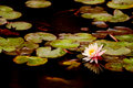 Free The Waterlily Brocaded Fish Royalty Free Stock Photography - 4533997