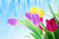 Free Spring Tulips Isolated On A White Stock Photography - 4534832
