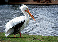 Free White Pelican In A Park Royalty Free Stock Photography - 4534877
