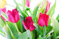 Free Spring Tulips Isolated On A White Stock Image - 4534891