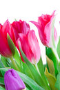 Free Spring Tulips Isolated On A White Royalty Free Stock Photography - 4535617