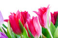 Free Spring Tulips Isolated On A White Royalty Free Stock Photos - 4535628
